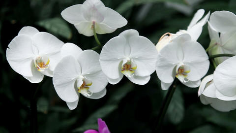 white orchid's blossom in a botanic garden Footage
