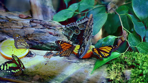 butterflies feeding on a slice of orange with adde Footage