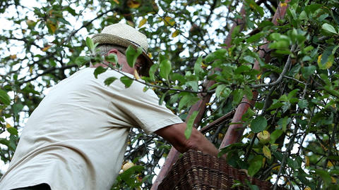 Senior man picking apples while standing on the la Footage