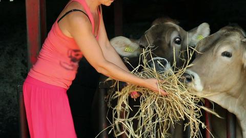 Woman dressed in pink feeding cows Footage