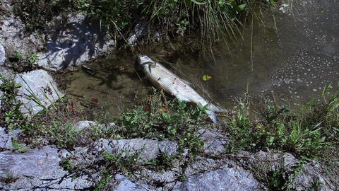 Shot of the dead fish in the pond Live Action