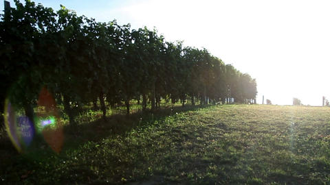 Shot Of Driving Through The Wineyard With Special  stock footage