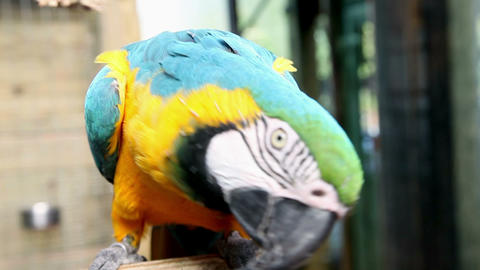 Beautiful, Colorful Parrot Making Funny Moves Towa stock footage