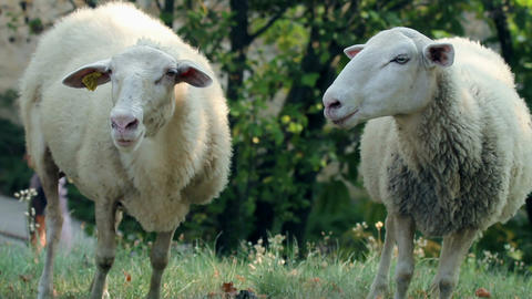 Two sheeps enjoying while gazing on pasture at sun Footage