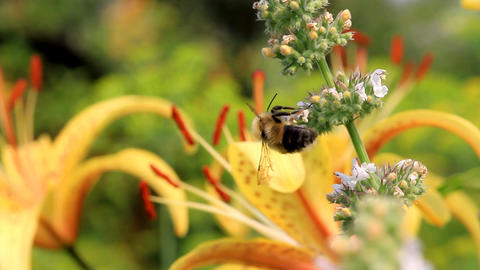 bee Stock Video Footage