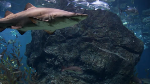 Shark Stock Video Footage