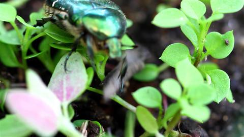 big beetle Stock Video Footage