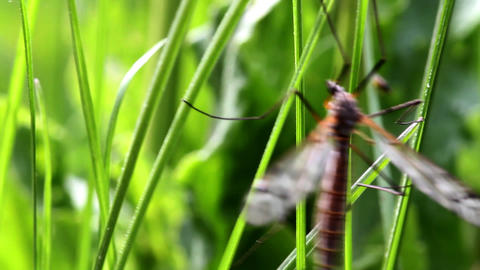 mosquito Stock Video Footage