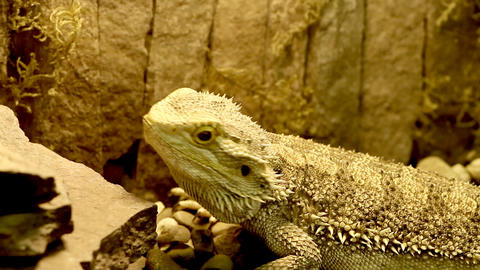 lizard in the Aquarium Stock Video Footage