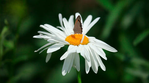 Butterfly on chamomile Stock Video Footage