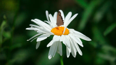 Butterfly on chamomile Footage