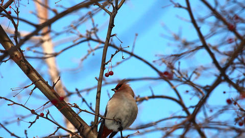 Waxwing Stock Video Footage