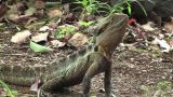 Eastern Water Dragon stock footage