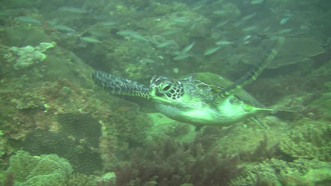Green Turtle Stock Video Footage
