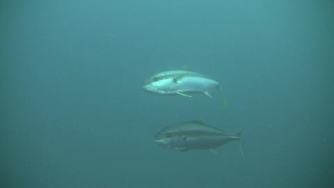 Yellow Tail KingFish Stock Video Footage