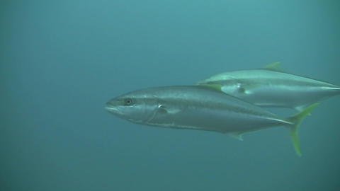Yellow Tail KingFish Stock Video Footage
