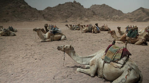 Group of saddled camels sitting and resting on the Footage