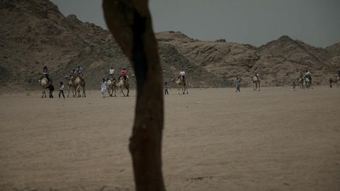 Camels coming to the tent camp to take tourists to Footage