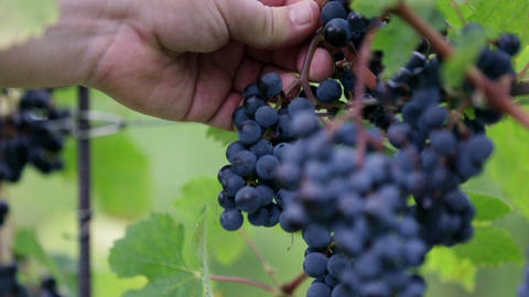 Hands struggling to remove grapes from vines Footage