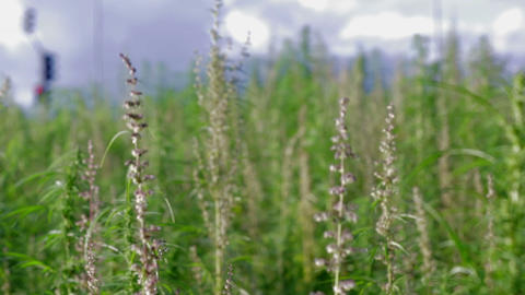 Large industrial cannabis field next to road Footage