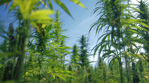 Growing industrial hemp Footage