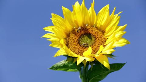 Sunflower 01 HD Footage