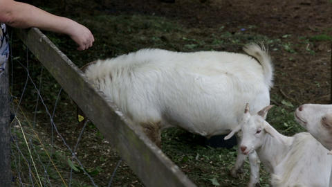 Goats fight for food and farmer warns them to beha Footage