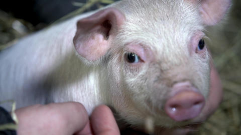Piggy looking into the camera while being caressed Stock Video Footage