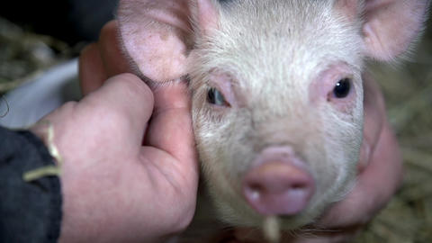 Piggy looking into the camera while being caressed, Live Action