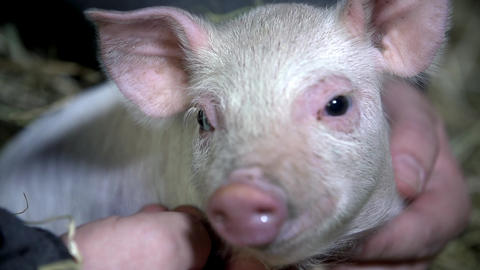 Piggy looking into the camera while being caressed Footage
