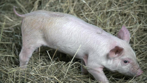 Piggy is carefully walking on the hay Live Action
