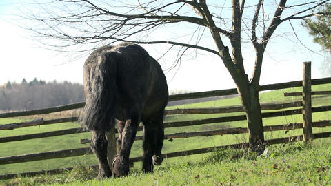 Horse walks to the wooden fence and picks some gra Footage