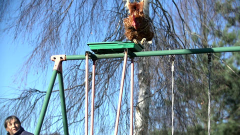 Rooster jumps off the swing flapping its wings Footage
