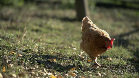 Chicken walks around in search for the food Footage