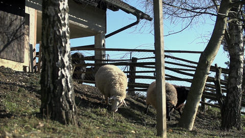 Sheep come out of the barn Footage