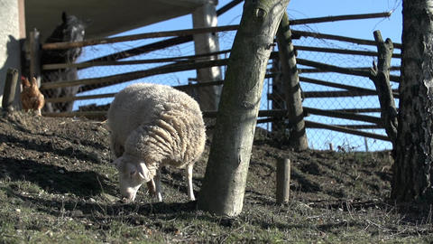 Sheep stares into the ground Footage