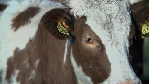 Close shot of cow's head with visible chips in the Footage