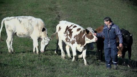 Shepherd walking in front of the cattle Footage