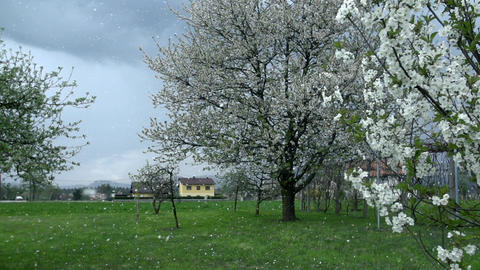 Petals in the wind falling from blossoming fruit trees Footage