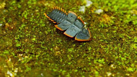 Duliticola (Trilobite beetle). Female moves on the Footage