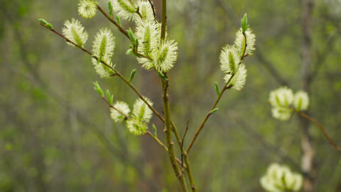 Pussy willow flowers in the northern spring forest Footage