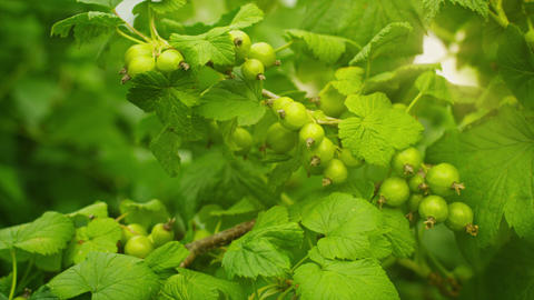 Unripe berries of black currant on bushes Live Action