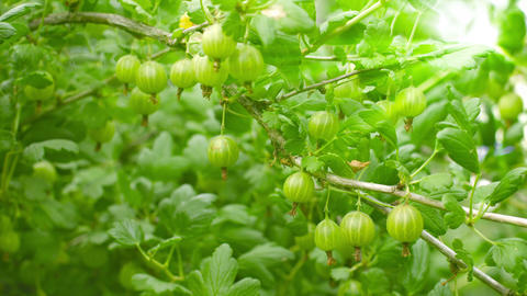 Green gooseberries on the bushes Footage