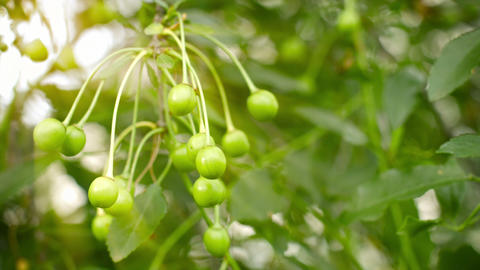 Unripe cherries on the branches of a tree in the g Footage