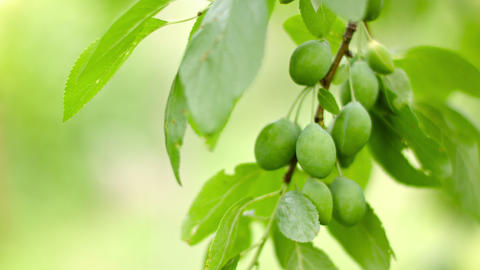 Unripe plums on the branches of a tree Footage