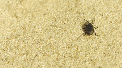 Small black beetle running through the sand - macr Footage