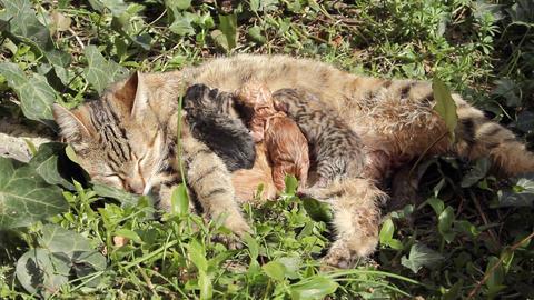 10 minutes old newborn cat is drinking milk 5 Stock Video Footage