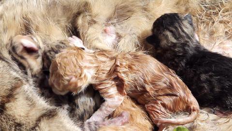 10 minutes old newborn cat is drinking milk 3 Stock Video Footage