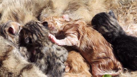 10 minutes old newborn cat is drinking milk 3 Footage