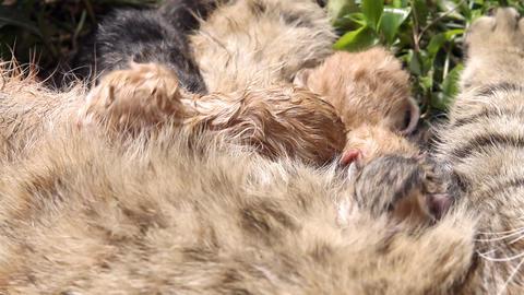 10 minutes old newborn cat is drinking milk Stock Video Footage